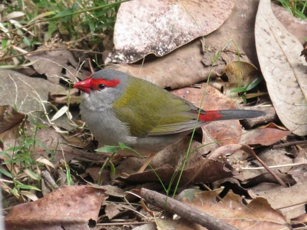 Red browed firetail finch